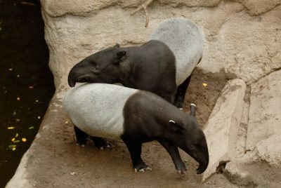 Photo: Malayan tapir at the Omaha Zoo.