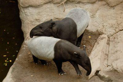 Photo: Malayan tapir at the Omaha Zoo.