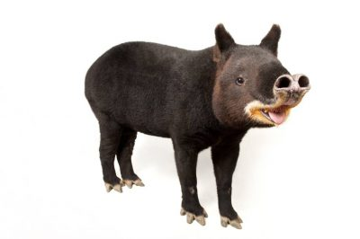 Endangered (IUCN) and federally endangered mountain tapir (Tapirus pinchaque). There are only 10 in captivity world wide and are being phased out of zoos.