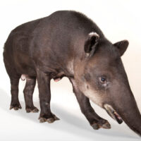 Photo: Baird's tapir (Tapirus bairdii) at the Omaha Zoo.