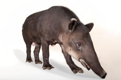 An endangered Baird's tapir (Tapirus bairdii) at the Omaha Zoo.