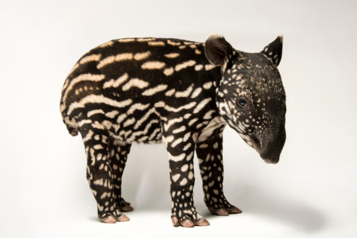 A six-day-old Malayan tapir, Tapirus indicus, at the Minnesota Zoo. This species is listed as endangered (IUCN) and federally endangered.