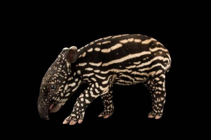 Picture of an endangered (IUCN) and federally endangered six-day-old Malayan tapir (Tapirus indicus) at the Minnesota Zoo.