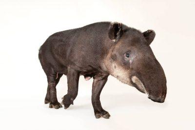 An endangered Baird's tapir (Tapirus bairdii) at Omaha's Henry Doorly Zoo and Aquarium, Omaha, Nebraska.