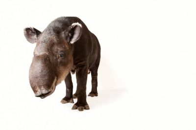 An endangered Baird's tapir (Tapirus bairdii) at Omaha's Henry Doorly Zoo and Aquarium, Omaha, Nebraska.