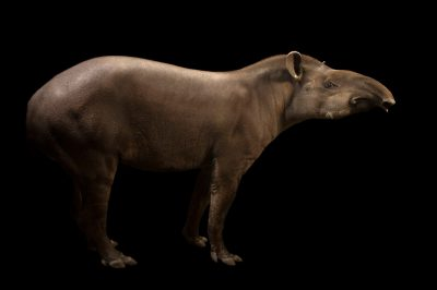 Picture of a vulnerable (IUCN) and federally endangered South American tapir (Tapirus terrestris) at the John Ball Zoo in Grand Rapids, Michigan.