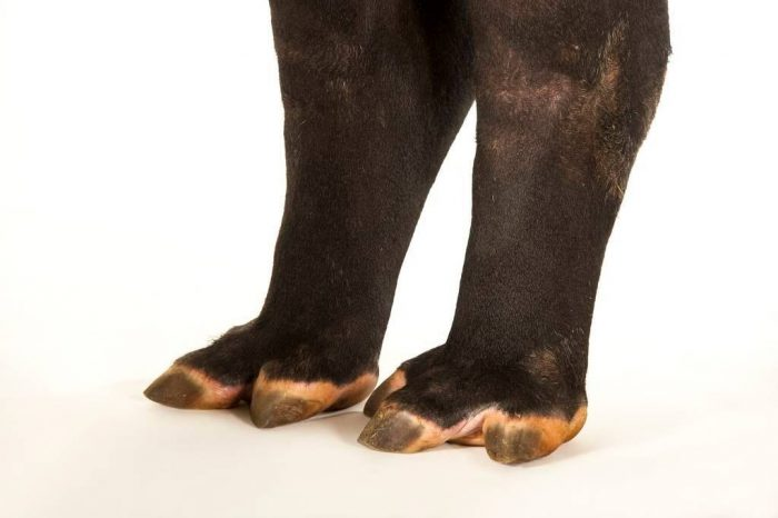 Picture of the feet of an endangered (IUCN) and federally endangered Malayan tapir (Tapirus indicus).