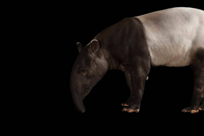 Picture of an endangered (IUCN) and federally endangered Malayan tapir (Tapirus indicus).