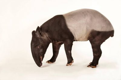 Picture of an endangered (IUCN) and federally endangered Malayan tapir (Tapirus indicus).