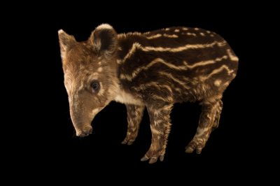 Endangered (IUCN) and federally endangered five-month-old mountain tapir (Tapirus pinchaque) at the Cali Zoo in Colombia.