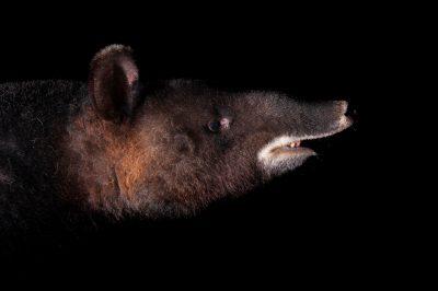 Photo: An endangered mountain tapir (Tapirus pinchaque) at the LA Zoo.