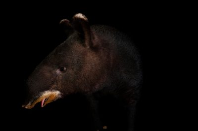Photo: An endangered mountain tapir (Tapirus pinchaque) at the LA Zoo.