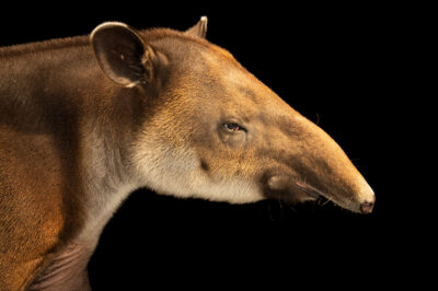 Photo: An endangered female Baird's tapir (Tapirus bairdii) at the Audubon Zoo. This animal is named Ixchel.