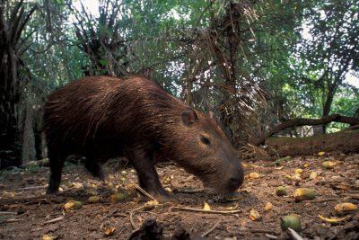 Photo: A capybara (Hydrochaerus hydrochaeris) in the Pantanal, Brazil.