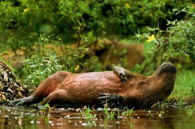 A capybara (Hydrochoerus hydrochaeris) rolls in vegetation along a stream bank in Brazil's Pantanal region.