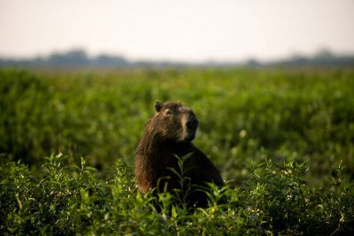 A capybara (Hydrochoerus hydrochaeris) forages for food in Brazil's Pantanal region.