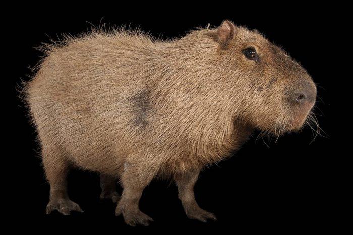 A capybara (Hydrochoerus hydrochaeris) at Rolling Hills Wildlife Adventure near Salina, KS. This species is the world's largest rodent.