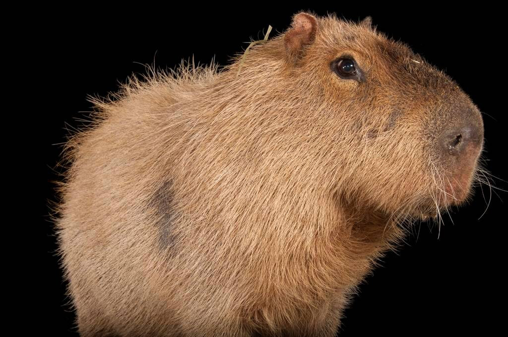 A capybara, Hydrochoerus hydrochaeris, at the Rolling Hills Wildlife Adventure. This species is the world's largest rodent.
