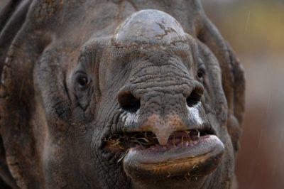 An endangered Indian rhinoceros (Rhinocerus unicornis) at the Rolling Hills Wildlife Adventure.