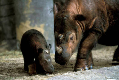 Photo: Emi, a female Sumatran rhino, with her three-week-old calf, at the Cincinnati Zoo. There are only nine Sumatran rhinos in captivity, so the birth of this calf is a tremendous event for the conservation of the species.