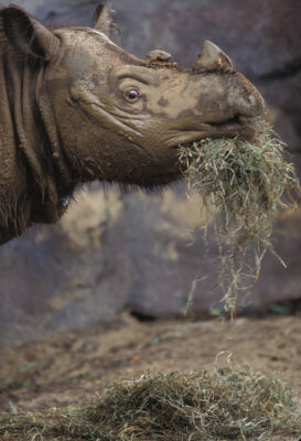 Photo: Emi, a female Sumatran rhino at the Cincinnati Zoo. There are only nine Sumatran rhinos in captivity, so the birth of Emi's calf is a tremendous event for the conservation of the species.