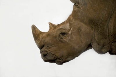 Photo: A white rhino at the Rolling Hills Wildlife Adventure in Salina, KS