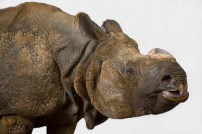 Photo: An Indian rhino at the Rolling Hills Wildlife Adventure in Salina, KS