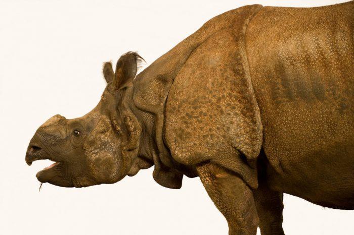 An Indian rhinoceros (Rhinoceros unicornis) at the Rolling Hills Wildlife Adventure. (IUCN: endangered)