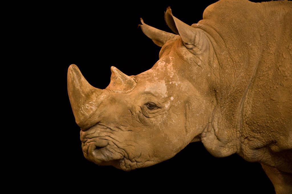 A white rhinoceros (Ceratotherium simum simum) at Rolling Hills Wildlife Adventure in Salina, Kansas.