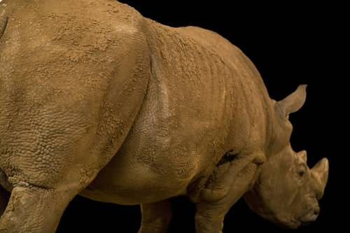 A white rhinoceros (Ceratotherium simum simum) at Rolling Hills Wildlife Adventure in Salina, Kansas.