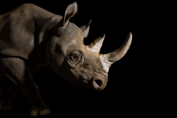 Picture of a critically endangered (IUCN) and a federally endangered female eastern black rhino (Diceros bicornis michaeli) named Imara at the Great Plains Zoo.