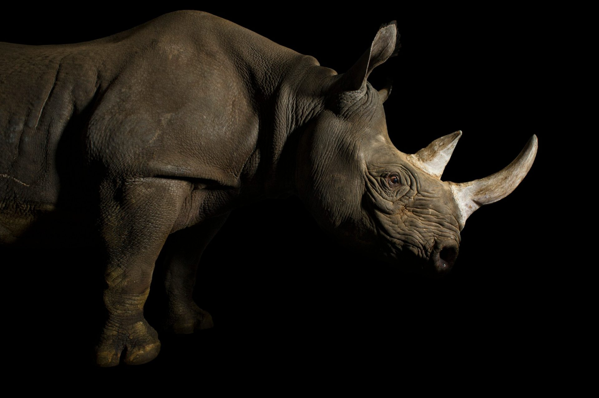 Picture of a critically endangered (IUCN) and federally endangered female eastern black rhino (Diceros bicornis michaeli) named Imara at the Great Plains Zoo.