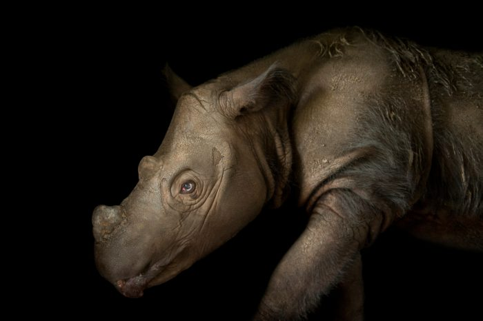 Picture of Harapan, a four-year-old male Sumatran rhino (Dicerorhinus sumatrensis), at White Oak Conservation Center. Critically endangered (IUCN) and federally endangered