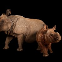 Photo: An endangered Indian rhinoceros female with calf (Rhinoceros unicornis) at the Fort Worth Zoo.