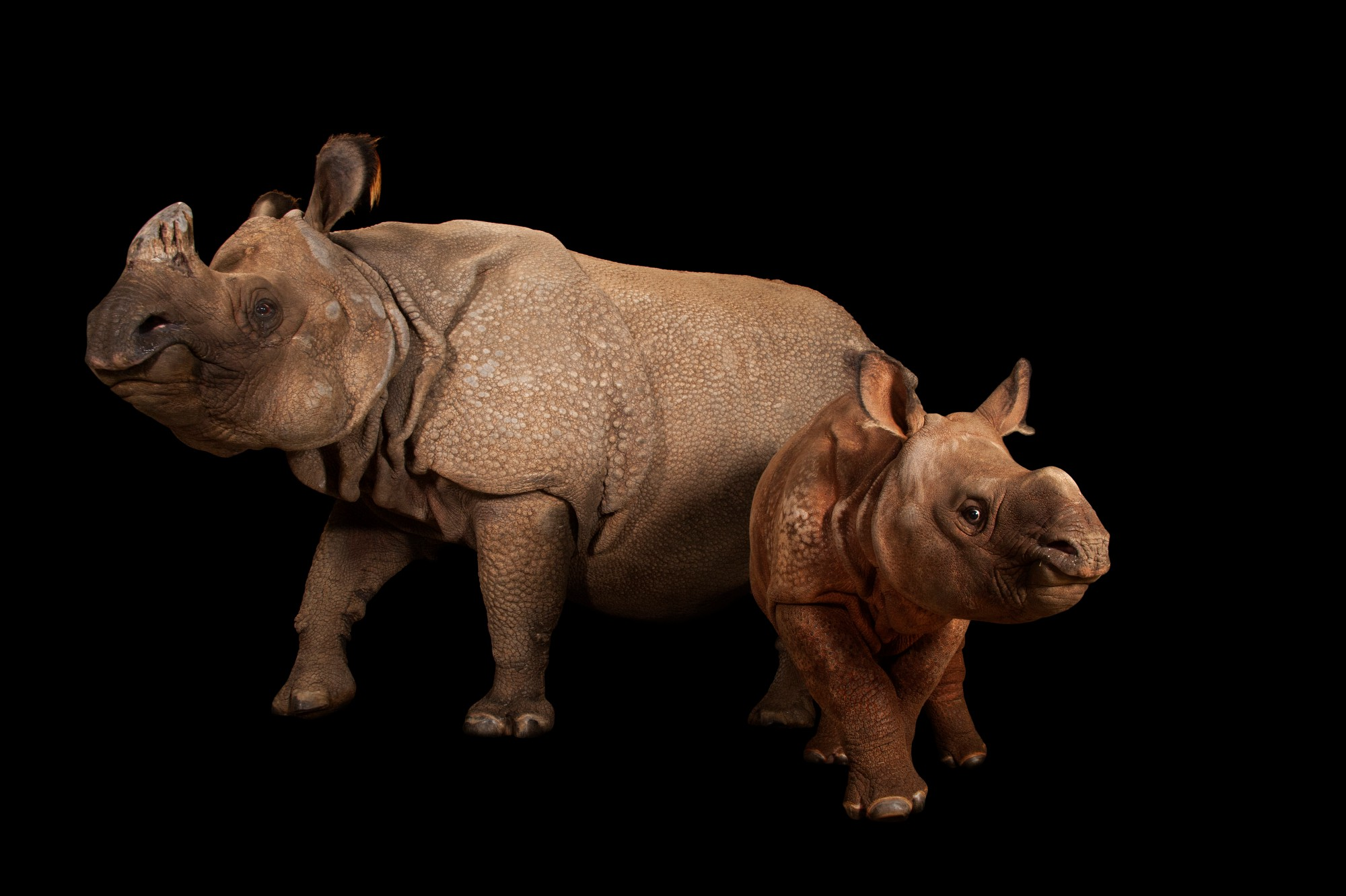 An endangered Indian rhinoceros female with calf (Rhinoceros unicornis) at the Fort Worth Zoo.