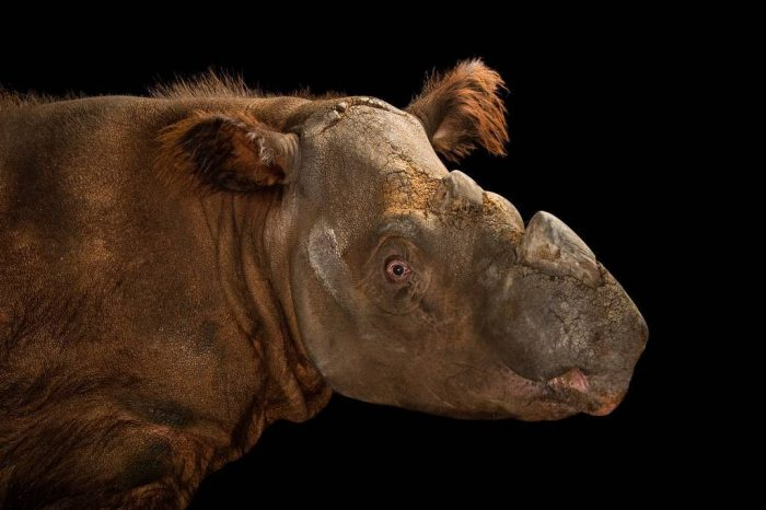 Picture of a critically endangered (IUCN) and federally endangered Sumatran rhinoceros (Dicerorhinus sumatrensis) at the Cincinnati Zoo.
