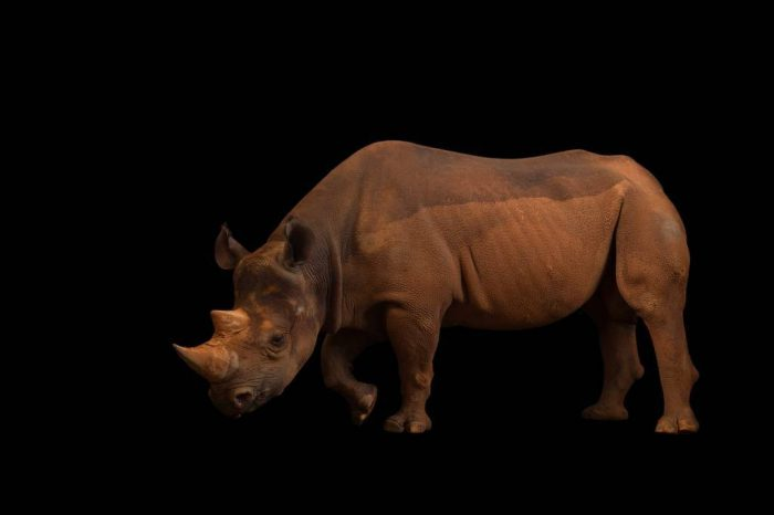 Picture of a critically endangered (IUCN) and federally endangered Eastern black rhino (Diceros bicornis michaeli) at the Oklahoma City Zoo.