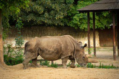 Picture of Nabire, a Northern white rhinoceros (Ceratotherium simum cottoni)
