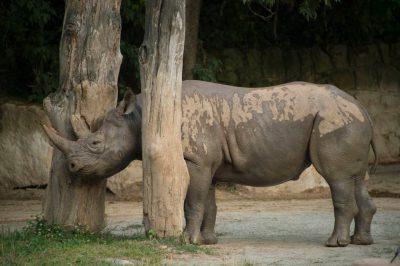 Photo: A critically endangered (IUCN) and federally endangered black rhino (Diceros bicornis) at Safari Park Dvur Kralove.
