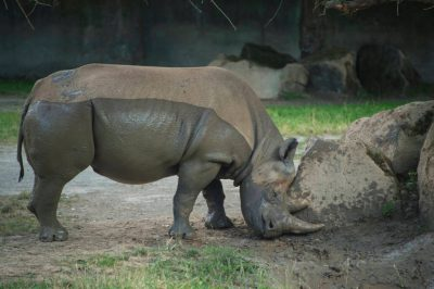 A critically endangered (IUCN) and federally endangered black rhino (Diceros bicornis) at the Dvur Kralove Zoo.