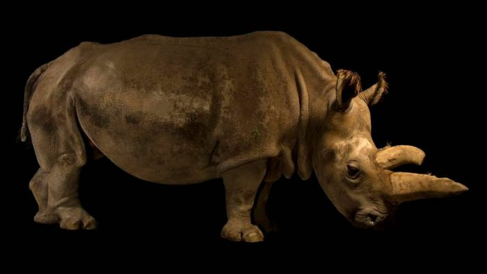 Picture of Nabire, a Northern white rhinoceros (Ceratotherium simum cottoni)