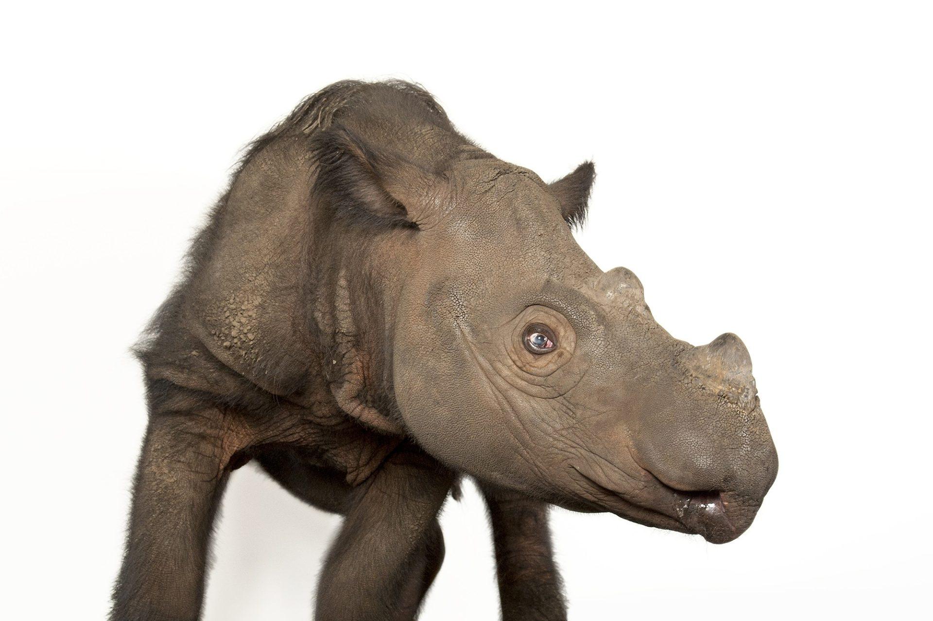 Photo: Harapan, a four-year-old male Sumatran rhino (Dicerorhinus sumatrensis), at White Oak Conservation Center.