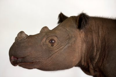 Photo: Harapan, a four-year-old male Sumatran rhino (Dicerorhinus sumatrensis), at White Oak Conservation Center.