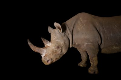 Photo: A critically endangered (IUCN) and federally endangered female eastern black rhino (Diceros bicornis michaeli) named Imara at the Great Plains Zoo.