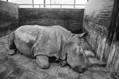 Photo: Nabire, a Northern white rhinoceros (Ceratotherium simum cottoni) was one of the last three northern white rhinos left on Earth.