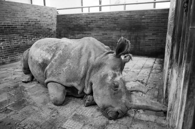 Photo: Nabire, a Northern white rhinoceros (Ceratotherium simum cottoni) was one of the last five northern white rhinos left on Earth.
