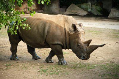 Photo: A white rhino at Safari Park Dvur Kralove.