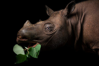 Photo: Pahu, the Bornean rhinoceros (Dicerorhinus sumatrensis harrissoni) at the Sumatran Rhino Rescue Center in Indonesia.