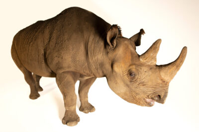 Photo: A female, nineteen year old, eastern black rhinoceros named Bibi (Diceros bicornis michaeli) at the Sedgwick County Zoo in Wichita, Kansas.