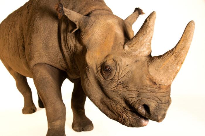 Photo: A female, nineteen year old, eastern black rhinoceros named Bibi (Diceros bicornis michaeli) at the Sedgwick County Zoo in Wichita, Kansas.